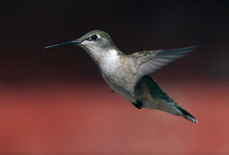 troy et colibri_2012 06 03_0348==colibri-800.jpg