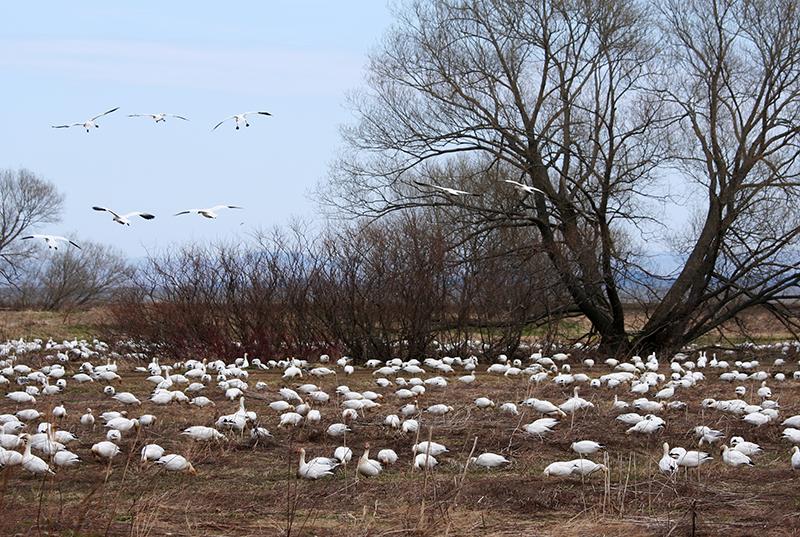 08_Goose_Oies Migratrices.jpg