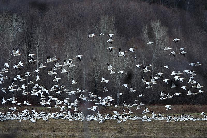09_Goose_Oies Migratrices.jpg