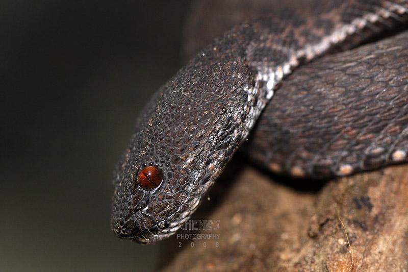 Swamp viper