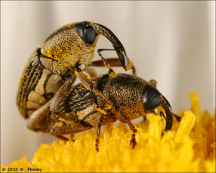Weevils Mating