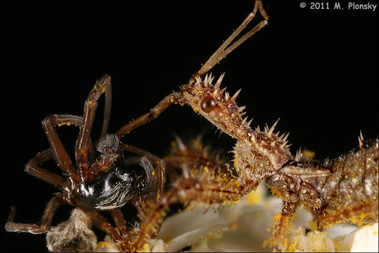 Spined Assassin Bug (Sinea diadema) with prey closeup