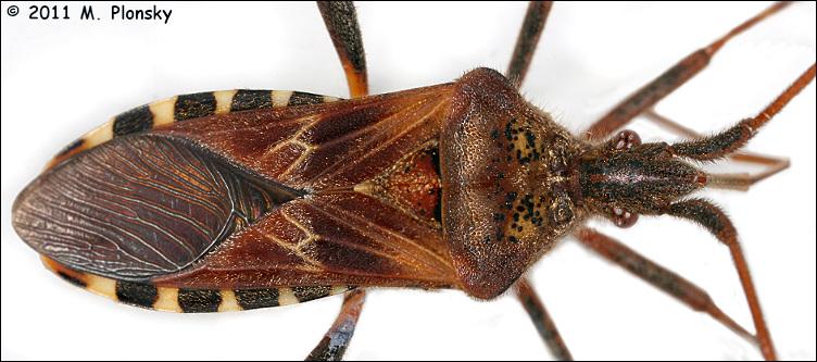 Back of Western Conifer Seed Bug (Leptoglossus occidentalis)