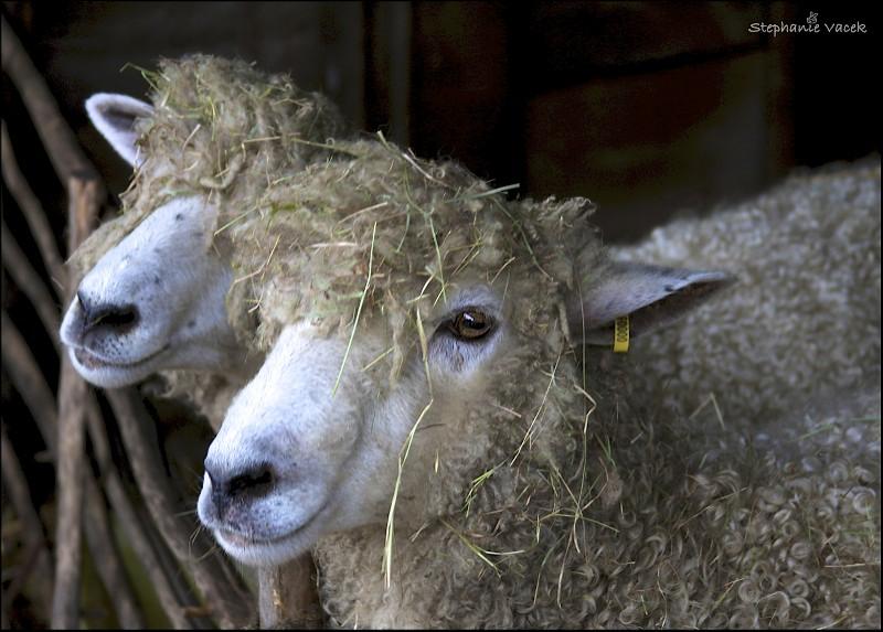 Sheepy!  Sheepy!  Sheepy!