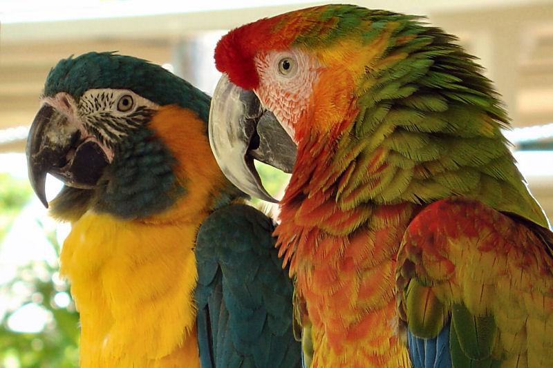 Colorful Parrots at Parrot Jungle Island, Miami