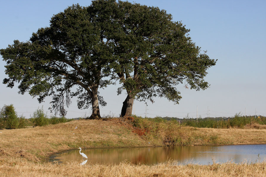 Two Live oaks (Quercus virginiana) on a cheniere