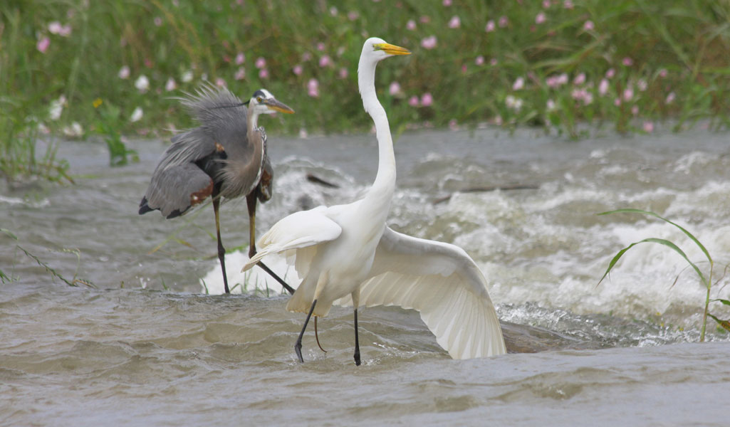 Birds fish in Spillway - May 2, 2011 - Gauge at 18 feet six inches