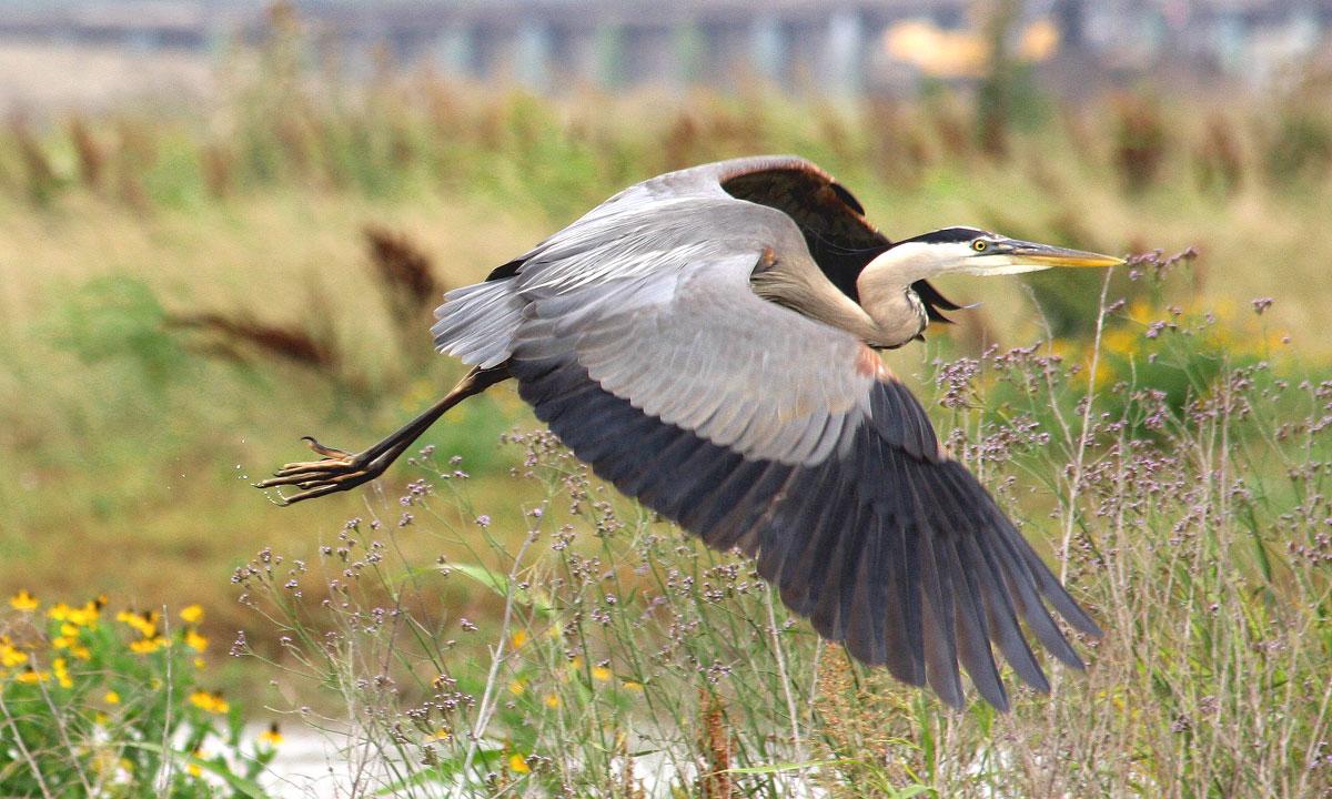 Great Blue Heron in Spillway