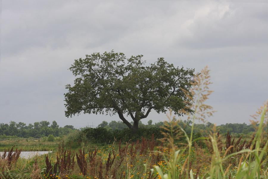 Live Oak (Quercus virginiana)