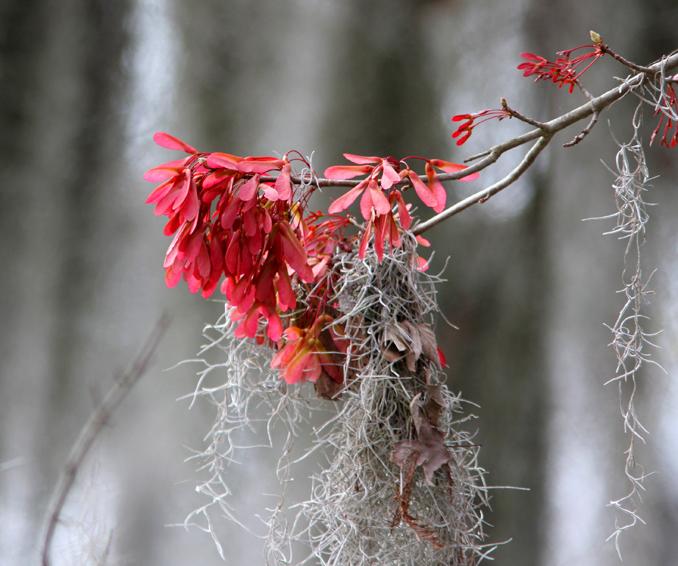 Swamp Maple in Bloom