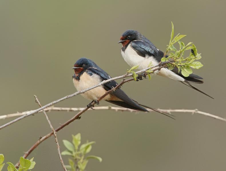 Barnswallow-Hirundo rustica