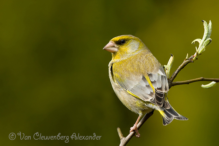 European Greenfinch Carduelis chloris Groenling