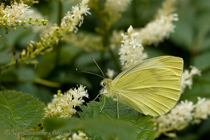 Small White Pieris rapae Klein koolwitje
