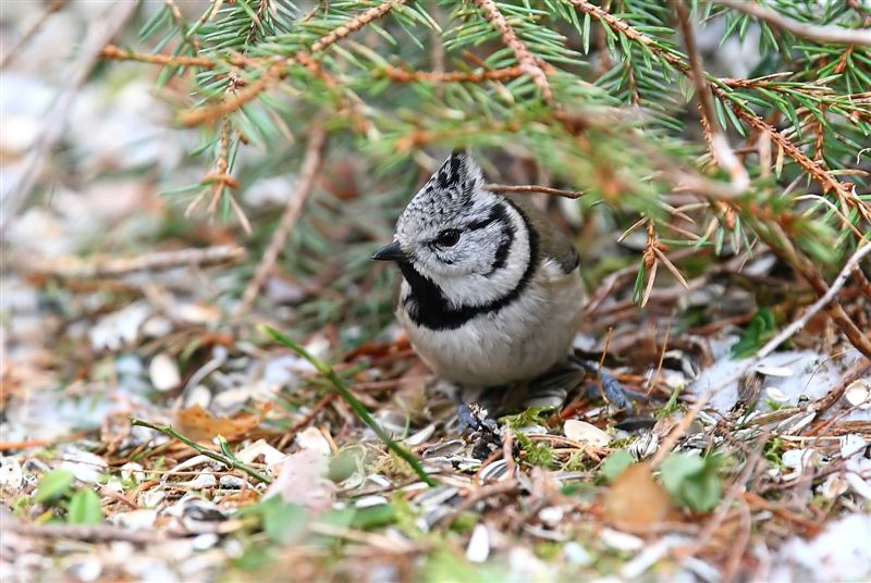 Crested Tit   Norway