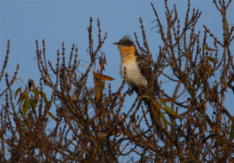 Great Spotted Cuckoo  Spain
