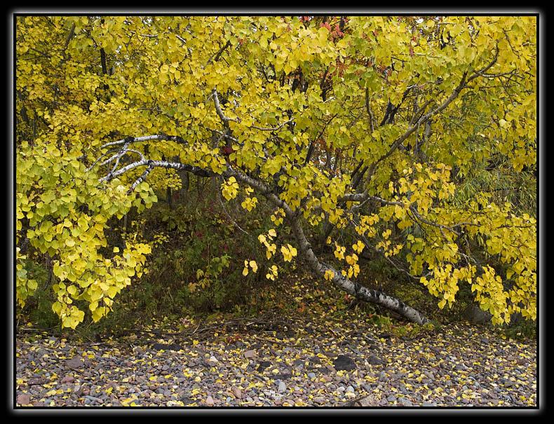 Poplar - brent