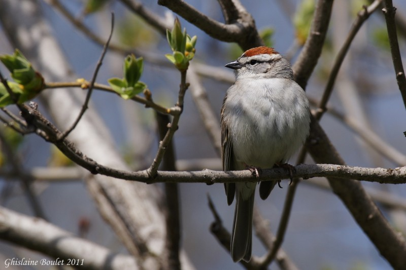 Bruant familier (Chipping Sparrow)