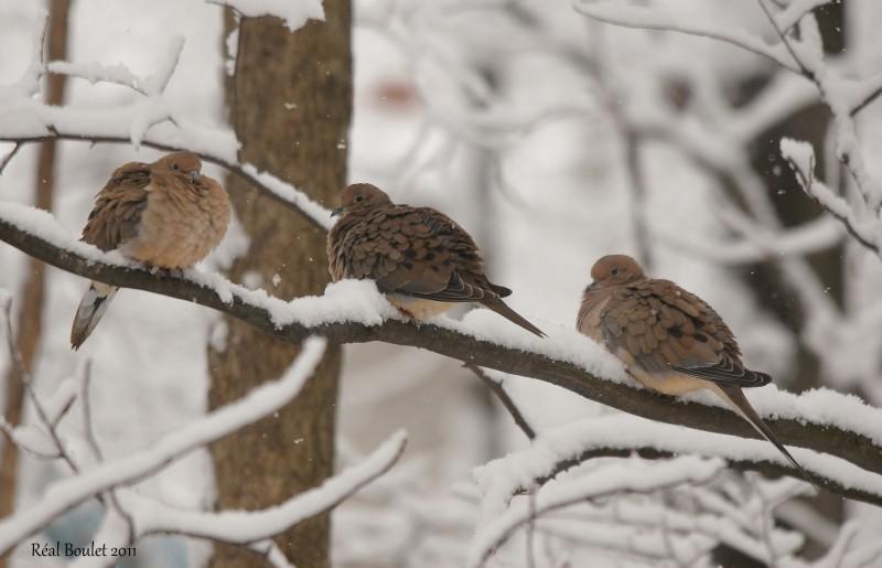 Tourterelle triste (Mourning Dove)
