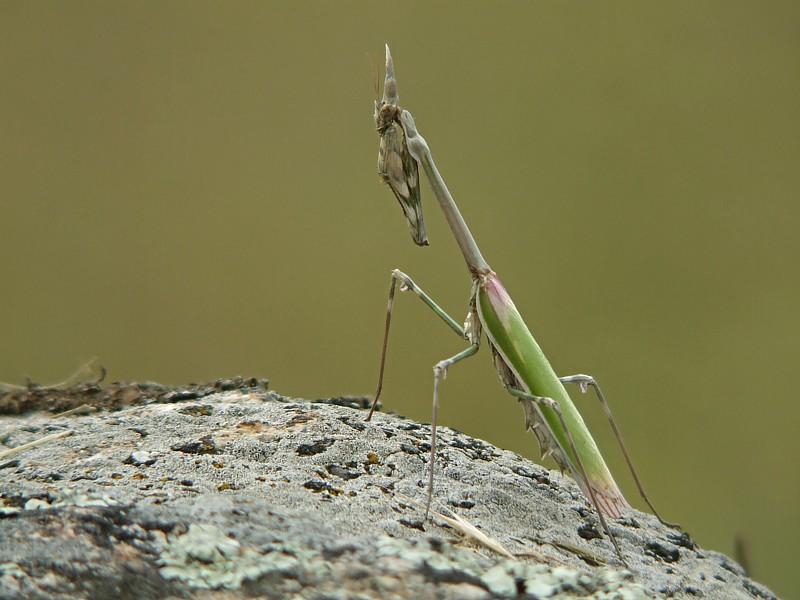 Bidsprinkhaan / Praying mantis