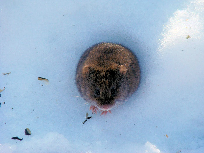 Meadow Vole emerging from a hole