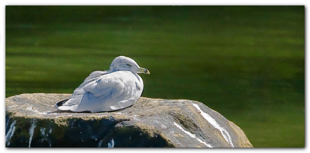 Seagull On A Rock II