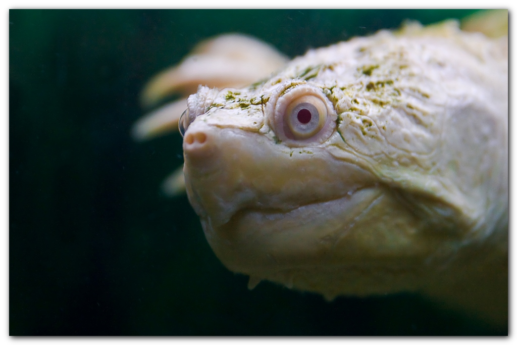 Albino Snapping Turtle
