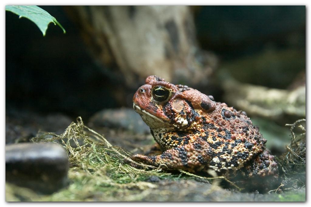 American Toad II