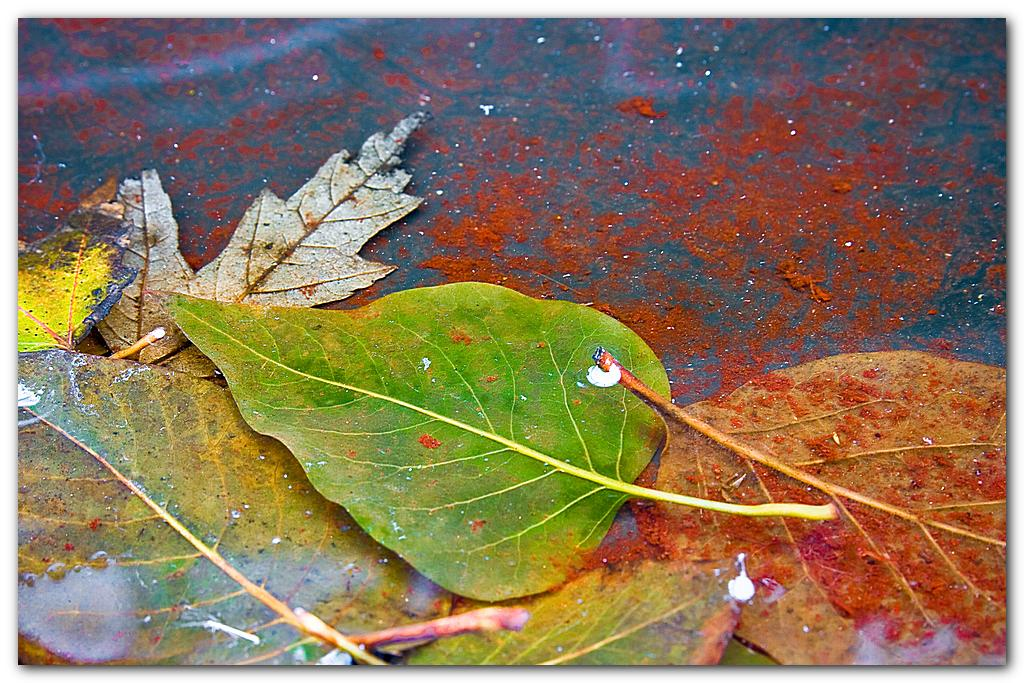 Leaves In Puddle