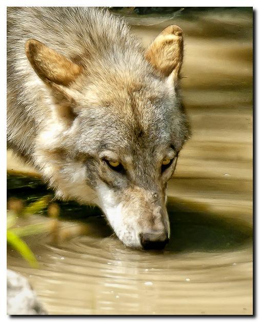 Wolf Drinking
