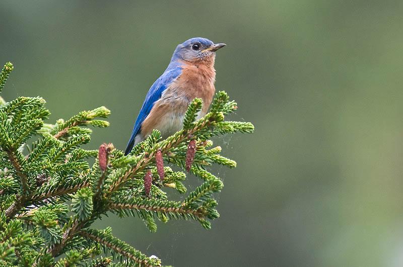 E.Bluebird