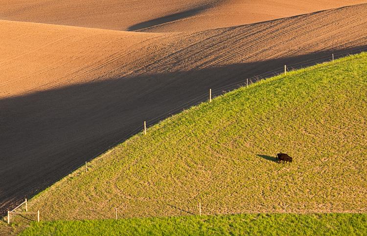 Bull in field