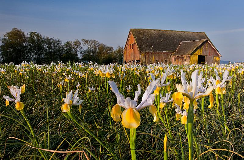 Irises & Barn