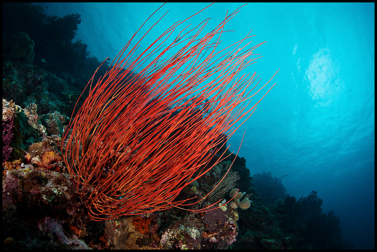 Panga batang whip coral