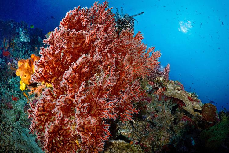 Seafan on Sipadan