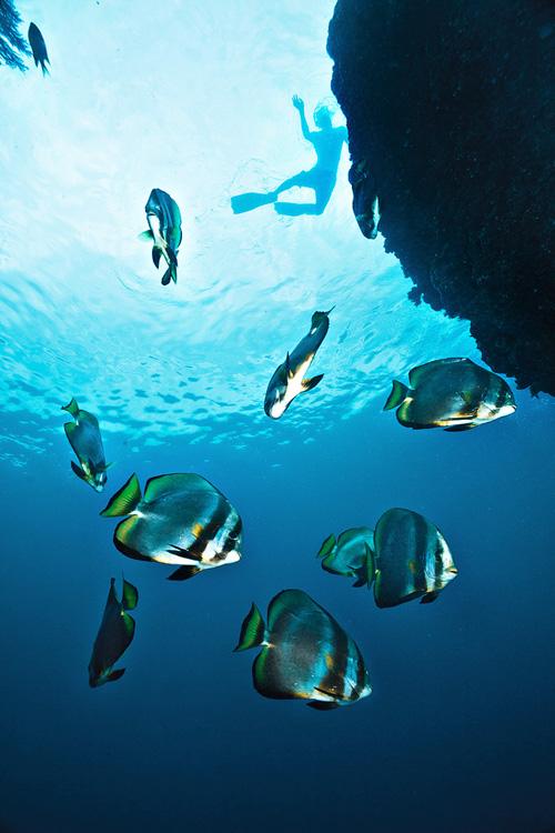 Batfish and snorkeler