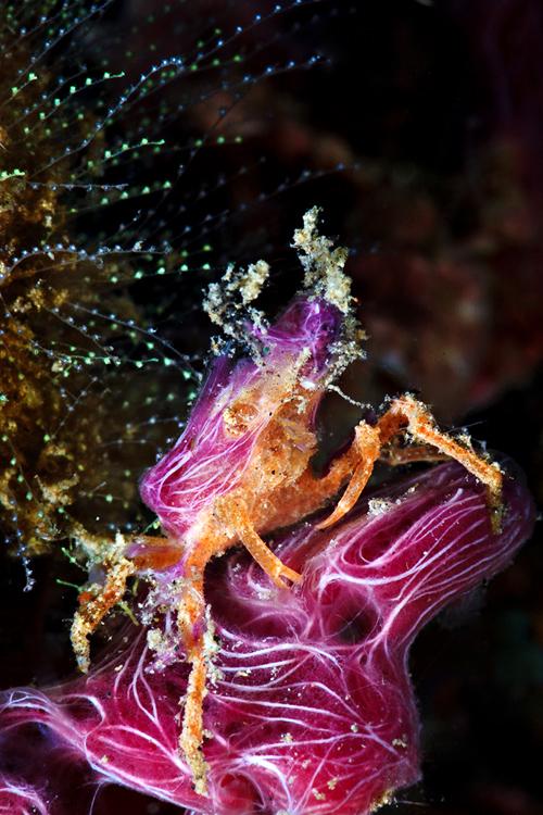 Candy spider crab
