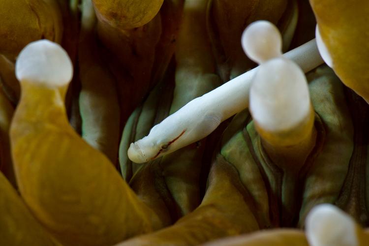 Mushroom coral pygmy pipefish