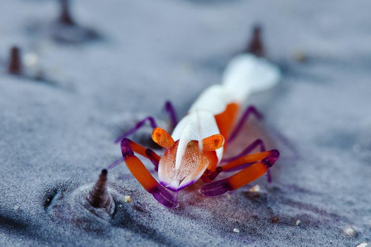 Whimsical Emperor Shrimp