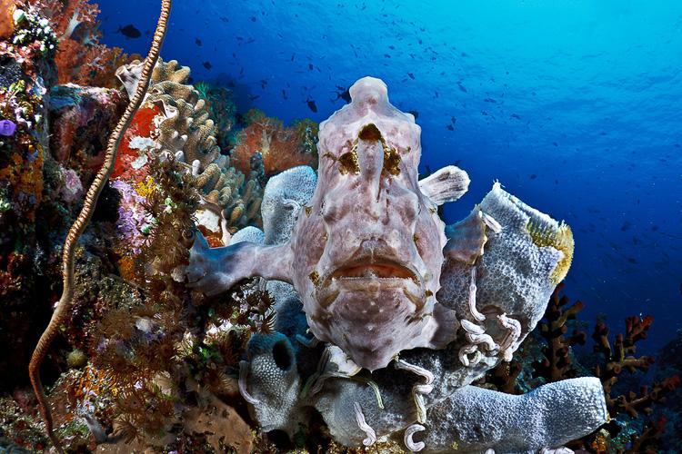 Frogfish on Sahaung 2