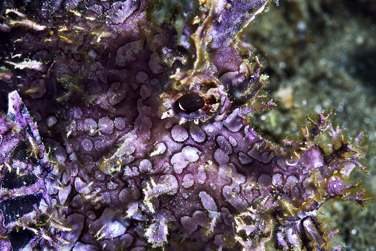 Purple lacy rhinopias