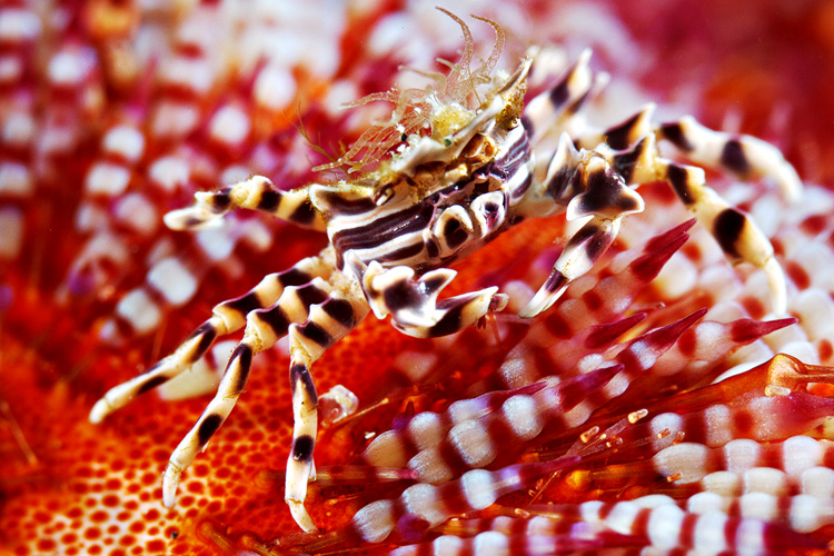 Zebra crab with a nice anemone hat