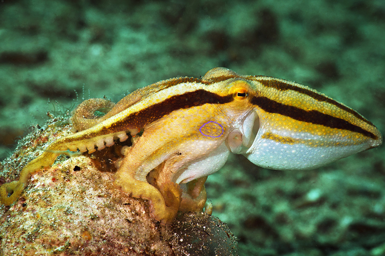 Mototi octopus pissed off