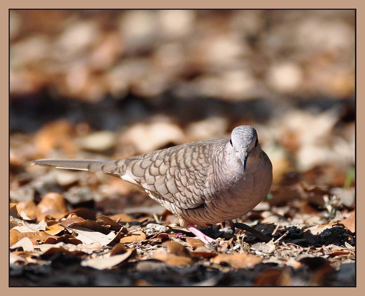 Inca/spanish Dove