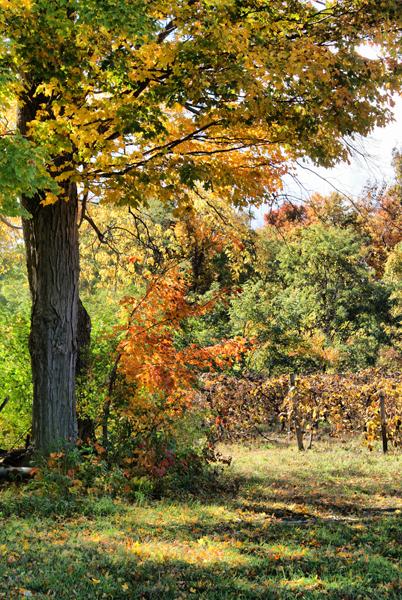 A Peek Into the Vineyard