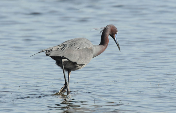 Little Blue Heron  0409-3j  Sanibel