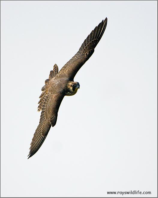 Peregrine in Flight (re-edit)
