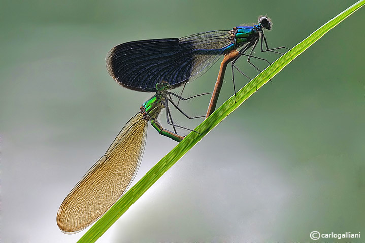 Calopteryx splendens