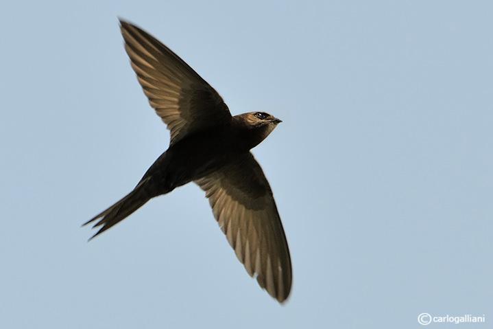Rondone-Common Swift (Apus apus)