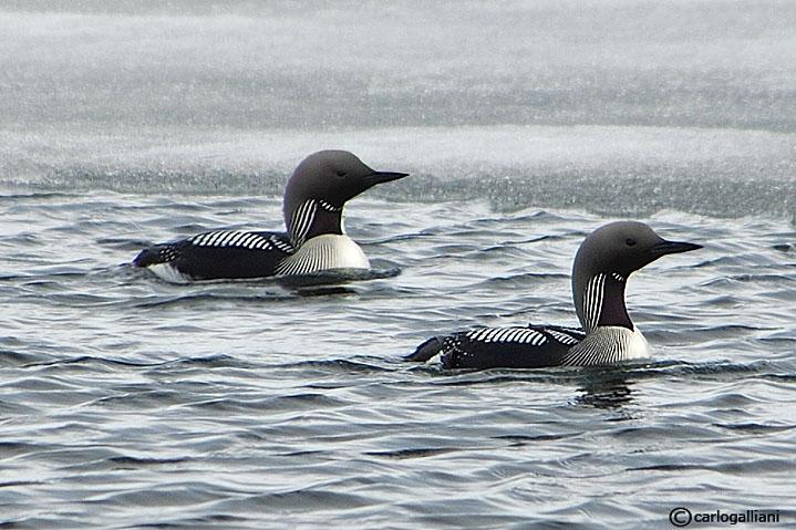 Strolaga mezzana- Black-throated Diver (Gavia arctica)