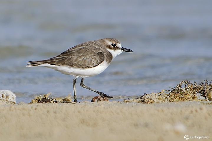 Corriere leschenault-Greater Sand Plover  (Charadrius leschenaultii)